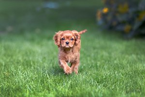 Puppy walking on the green grass