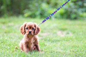Puppy on the leash