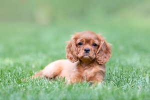 Puppy lying on the grass in the gard