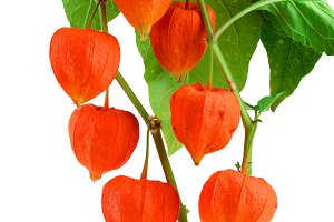 branch of physalis with leaves