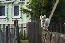 White dog standing on the fence.