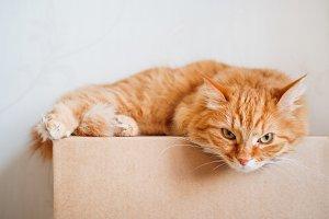 Cute ginger cat lying on carton box.