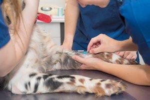 Veterinary place an intravenous line