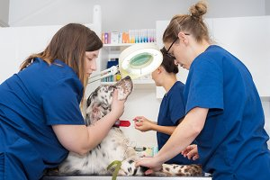 Veterinary team place an intravenous