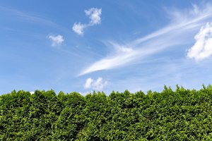 Green hedge and blue sky with clouds