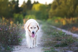 Happy golden retriever walking