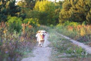 Happy golden retriever running