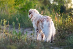Beautiful golden retriver on a walk