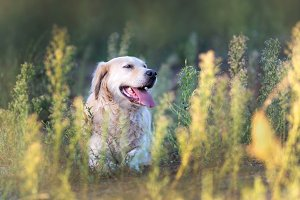 Happy golden retriever relaxing on t