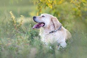 Happy golden retriever resting