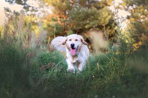 Happy golden retriver running