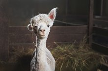 White alpaca on the farm by  in Animals