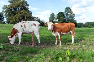 Brown and white cows