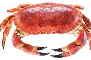 Cooked brown crab or edible crab.
