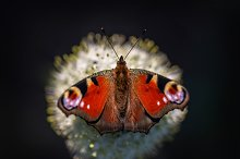 Peacock butterfly (Aglais io) by  in Nature