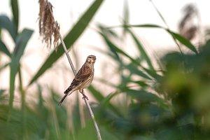 Bunting (Emberiza calandra) sitting