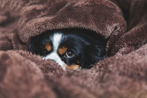 Cavalier spaniel relaxing under the