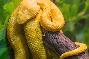 Venomous Bush Viper Snake