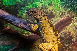 Reptile Iguana lizard