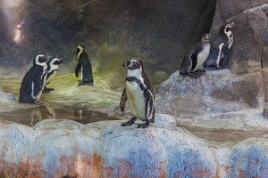 Cute Humboldt Penguins
