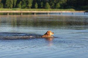 Happy swimming dog