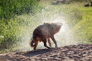 Wet dog shaking off after swimming