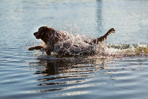 Happy dog in the water