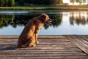 Wet golden retriever sitting on the