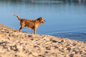 Happy wet dog standing on the lake b