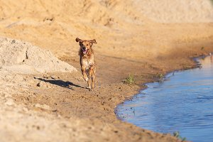 Happy wet dog running
