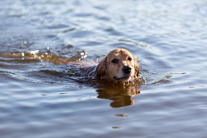 Happy dog swimming