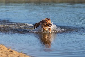 Happy dog swimming and jumping