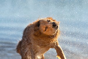 Wet dog shaking off