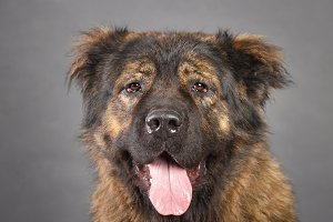 Brown Caucasian Shepherd Dog in