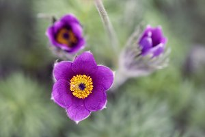 Beautiful pasque flower