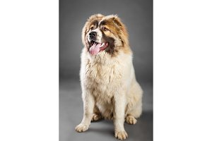 Young white brown Caucasian Shepherd