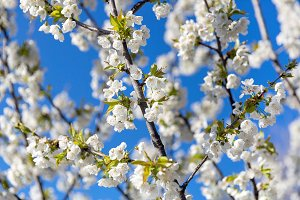 Blooming twig in the orchard