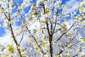 Blooming tree in the orchard