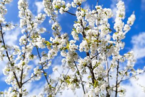 Blooming twig in orchard