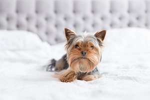 Cute yorkshire terrier in the bedroo