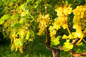 White grapes on a bush in the summer