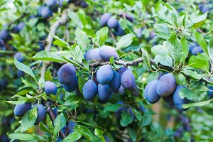 Blue plums in an orchard in the