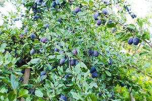 Good crop of blue plums in the