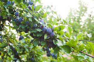 Ripe fleshy blue plums in the summer
