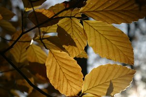 Autumn beech leaves, close-up 03