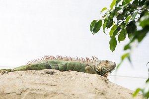 large iguana