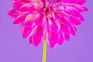 Image of the flower dahlia on purple