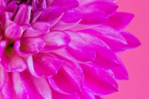 Image of the flower dahlia on pink