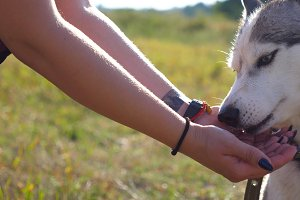 Young husky dog drinking water from