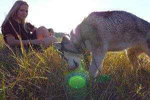 Young siberian husky dog biting and